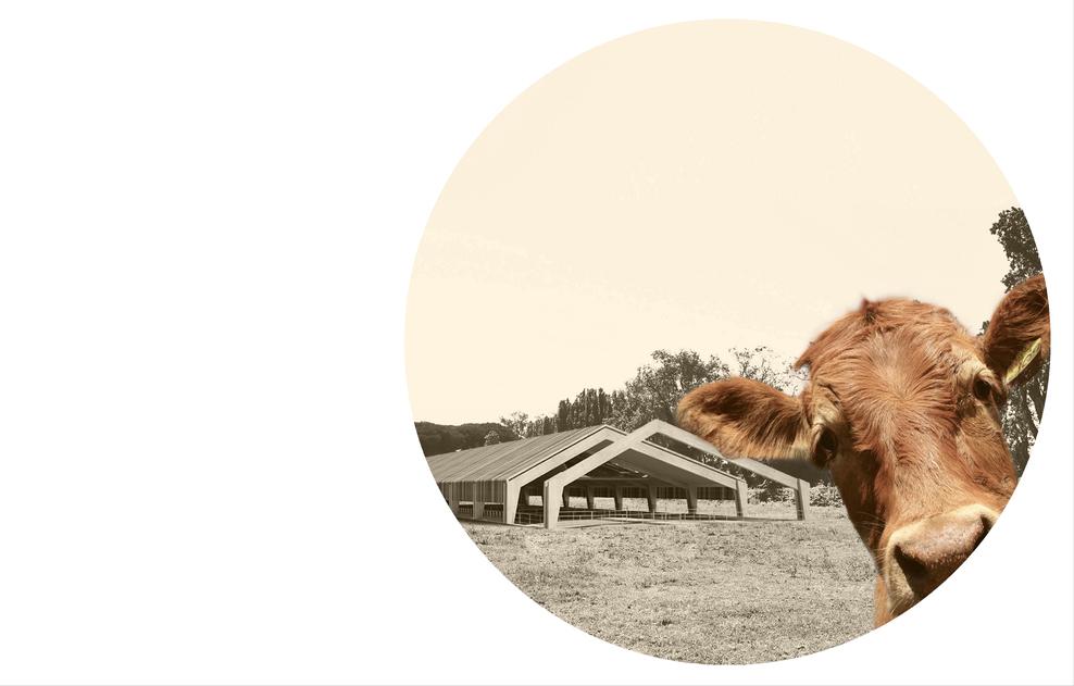 mucca con stalla sullo sfondo in fotografia bianconero