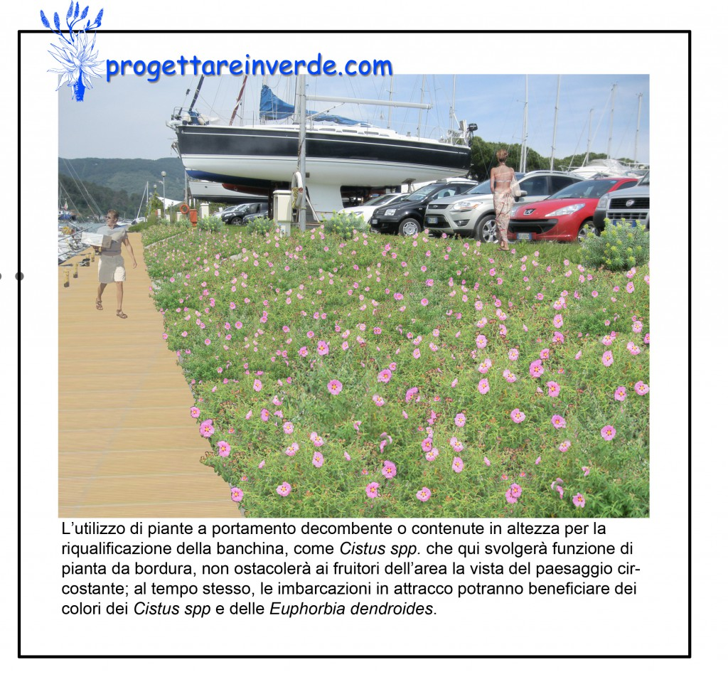 piante cistus fiori rosa in aiuola del circolo velico