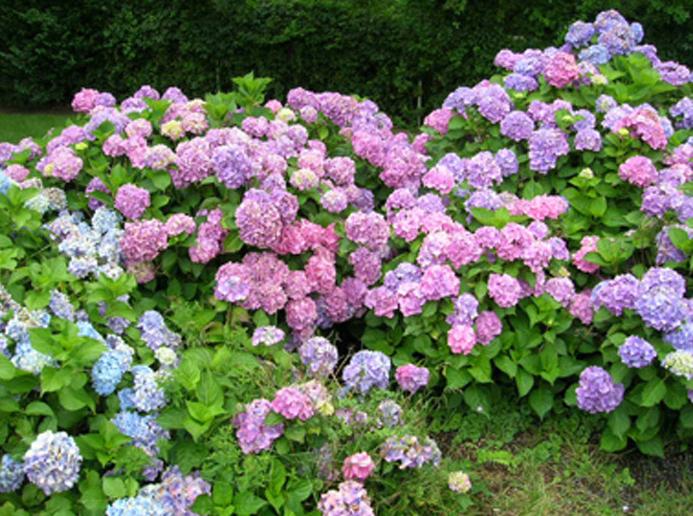 gruppo di ortensie fiorite