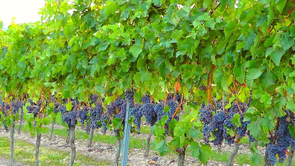 Sistema di autorizzazioni per gli impianti viticoli