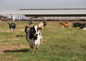 bovini agricoltura fabbricati