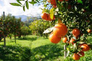 arance agrumeto