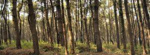 bosco pini rimboschimento