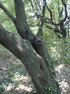 albero leccio buco cerambice