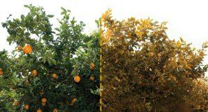 alberi agrumi arance malati citrus tristeza virus CTV