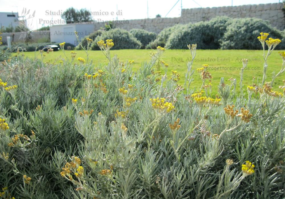 fiori gialli prato muro a secco siciliano piante officinali